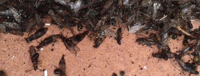 disinfestazione formiche formicaio